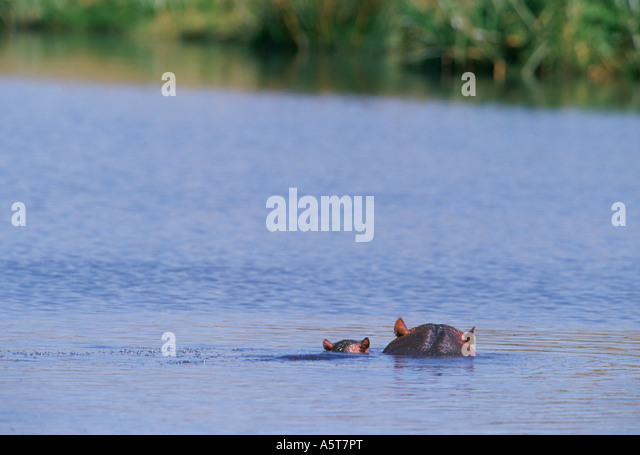 Baby hippo with mom Ngorongoro Crater Tanzania - Stock Image