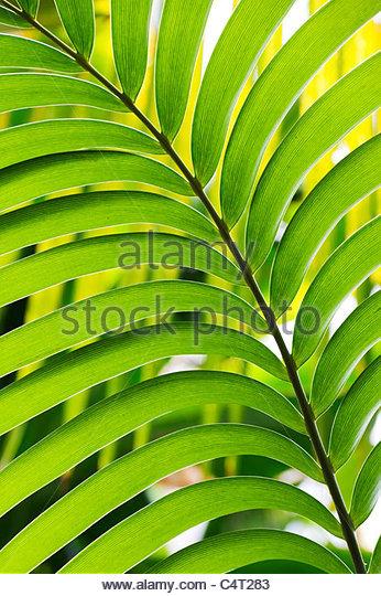 Ceratozamia mexicana . Mexican Horncone leaf - Stock Image