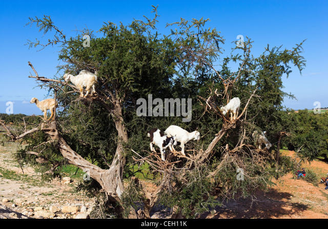 Goats climbing an Argan tree near Essaouira, Morocco, North Africa - Stock-Bilder