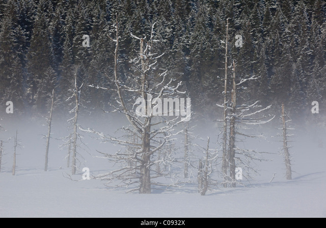 View of hoarfrosted saltwater-killed trees on a foggy morning along the Seward Highway near Portage, Southcentral - Stock Image