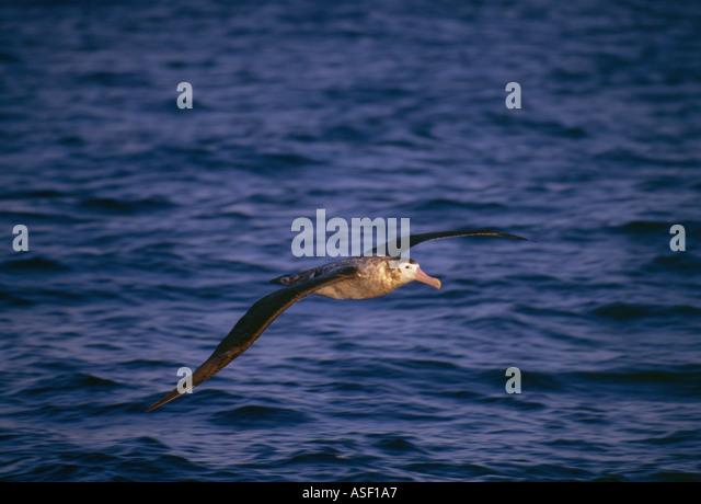 Antipodean Albatross Antipodes Wandering Albatross soaring low over sea between New Zealand and Kermadec Islands - Stock Image
