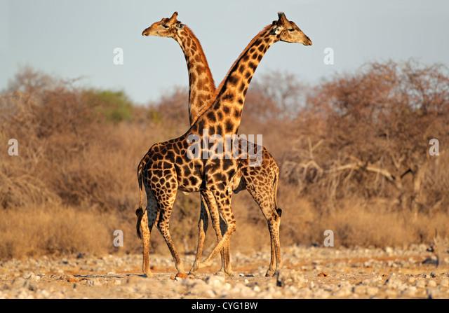 Two giraffe bulls (Giraffa camelopardalis), Etosha National Park, Namibia, southern Africa - Stock Image