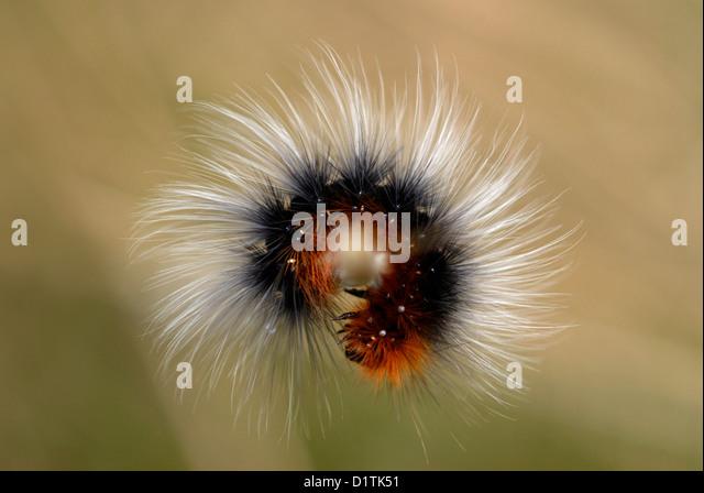 Garden Tiger Moth caterpillar (Arctia caja) on the Gower Peninsular - Stock Image