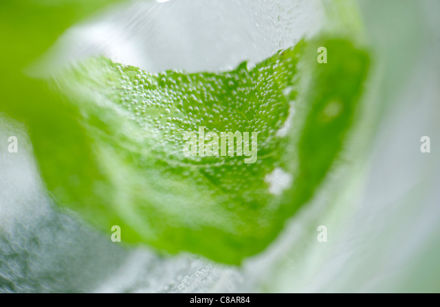 Fresh mint leaf in a glass of water - Stock Image