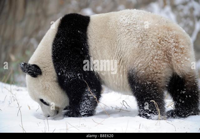 A giant panda at the Beijing Zoo. 19-Feb-2009 - Stock Image
