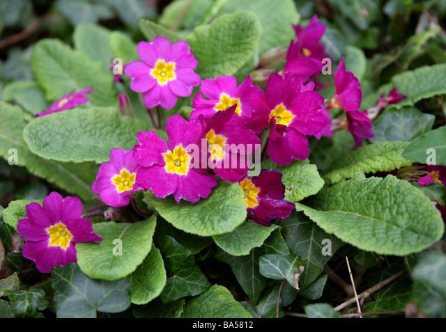 Magenta Coloured Garden Primulas, Primulaceae - Stock Image