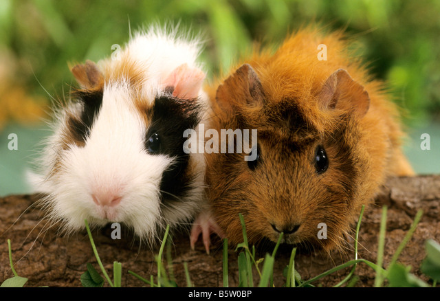 Cavy, Guinea Pig (Cavia aperea porcellus), two individuals on a log. - Stock Image