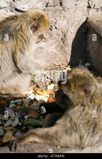 Gibraltar Apes feeding on fruit and vegetable scraps - Stock Image
