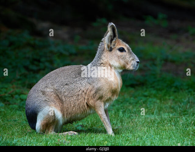 Patagonian mara sitting in grass in its habitat - Stock Image