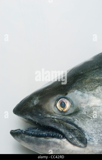 King or Chinook Salmon, Detail of head - Stock Image