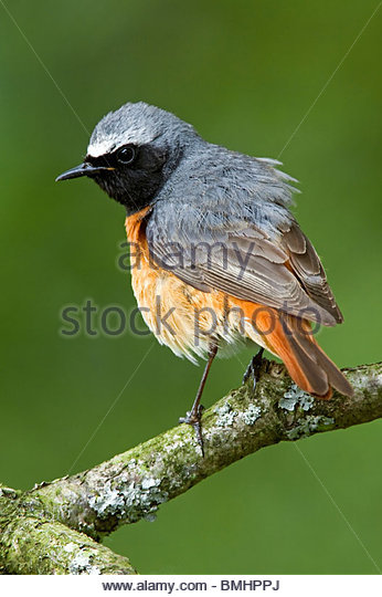 REDSTART (Phoenicurus phoenicurus), male in woodland. - Stock Image