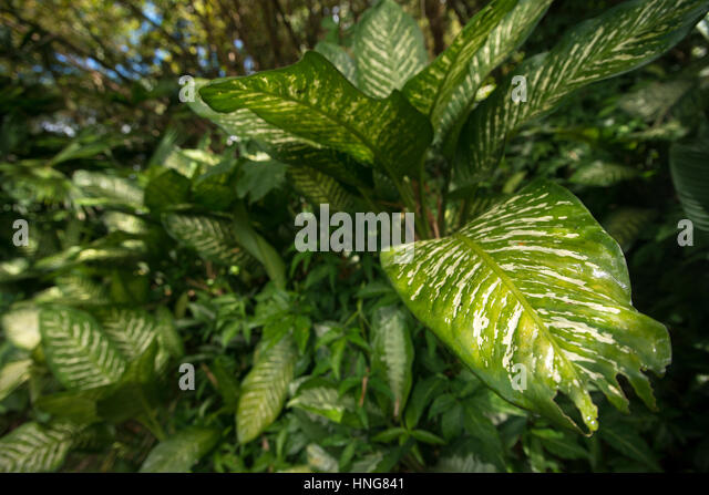 botany of dieffenbachia seguine Descriptions and articles about the dumbcane, scientifically known as dieffenbachia seguine in the encyclopedia of life includes physical description morph.