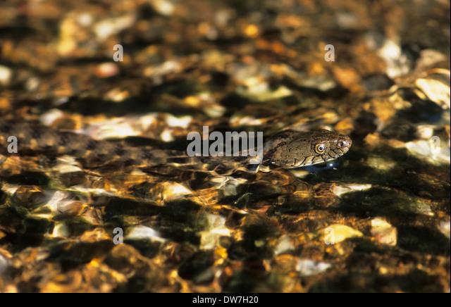 DICE SNAKE (Natrix tessellata) swimming in water Lesbos Greece - Stock Image