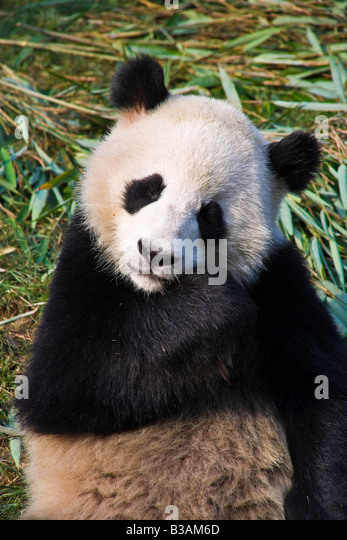 Close up adult Giant Panda at Chengdu Research Base of Giant Panda Breeding near Chengdu Sichuan Province China - Stock Image