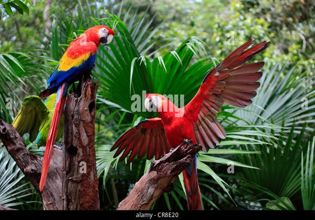 Scarlet Macaw Pair Stock Photos & Scarlet Macaw Pair Stock ...
