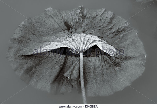 A partly submerged Lotus leaf (Nelumbo nucifera) evokes and open mouth, in a slowly freezing pond in Chungju, South - Stock Image