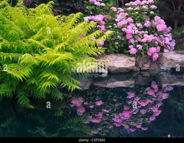 Hydrandia reflection in pond at Hughes Water Gardens, Oregon - Stock Image