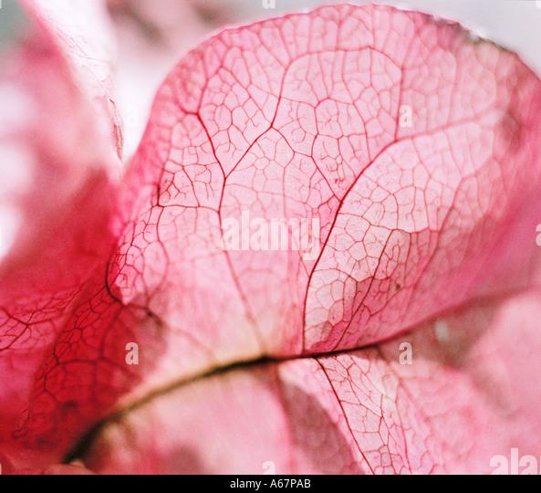 Bougainvilleas petal - Stock Image