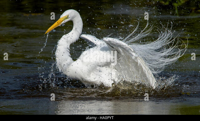 Great Egret Bathing - Stock Image