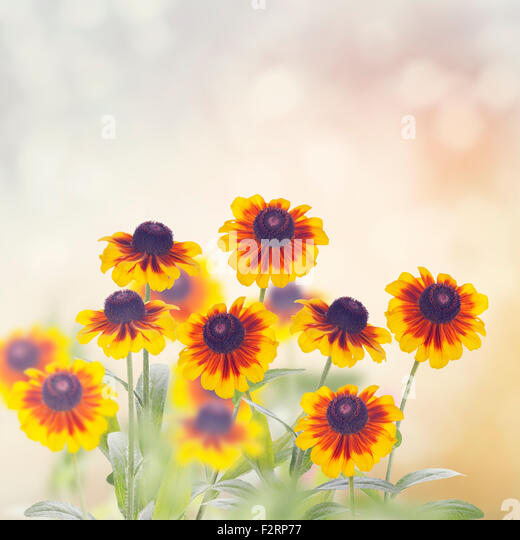 Daisy Rudbeckia Flowers in The Garden - Stock Image