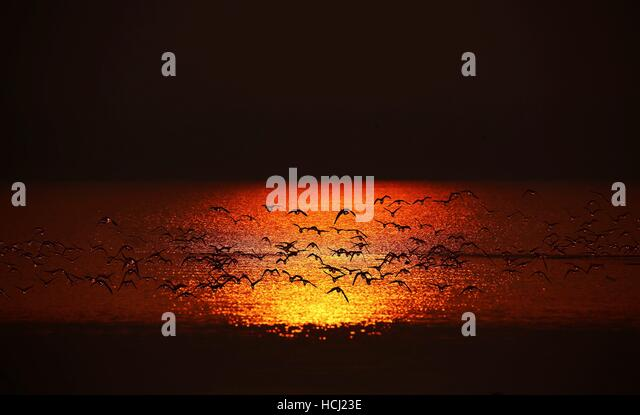 Cixian, China's Hebei Province. 9th Dec, 2016. Migrant birds fly above the Dongwushi Reservoir in Cixian County, - Stock Image