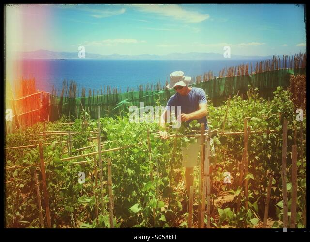 Man in Tarifa, Spain tending runner bean plants in his garden.  The Moroccan coastline visible in background. - Stock Image