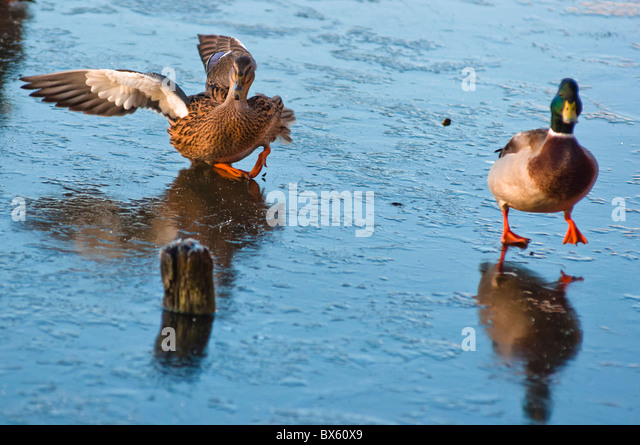 hard landing! Mallard ducks land on a frozen lake. - Stock Image