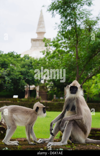Tufted grey langurs (Semnopithecus priam), Polonnaruwa, North Central Province, Sri Lanka, Asia - Stock Image