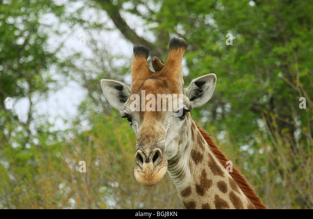 Giraffe with Red-billed Oxpecker - Stock Image