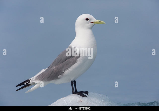 Black-legged Kittiwake standing on an iceberg, Columbia Bay, Prince William Sound, Southcentral Alaska - Stock Image