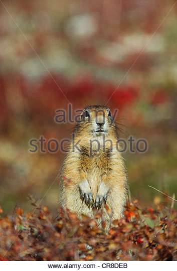 Arctic ground squirrel, Alaska - Stock Image