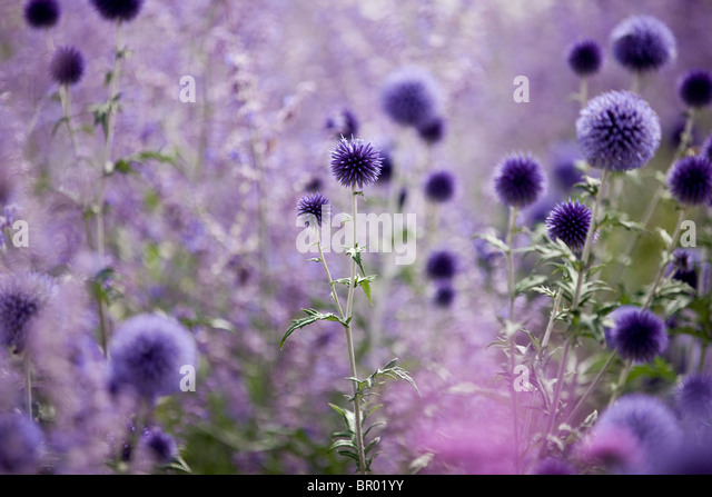 Purple globe thistles - Stock Image