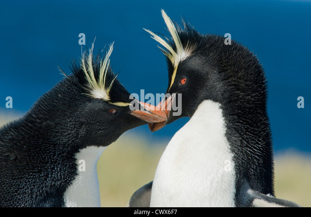 Rockhopper Penguin (Eudyptes chrysocome) Courting Pair, Falkland Islands - Stock Image