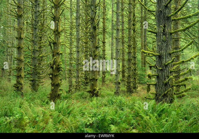 Moss covered Spruce trees and ferns. Silver Falls State Park, Oregon - Stock-Bilder