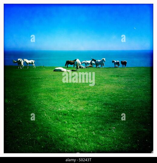 Wild ponies on cliff top, Pembrokeshire - Stock-Bilder