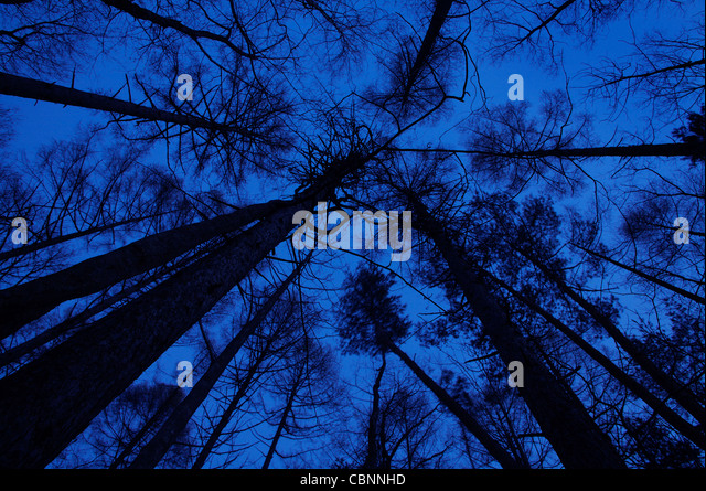 Silhouetted tall trees - Stock Image
