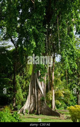 Botanical Gardens, oldest in the Western Hemisphere, at Kingstown, St. Vincent - Stock Image