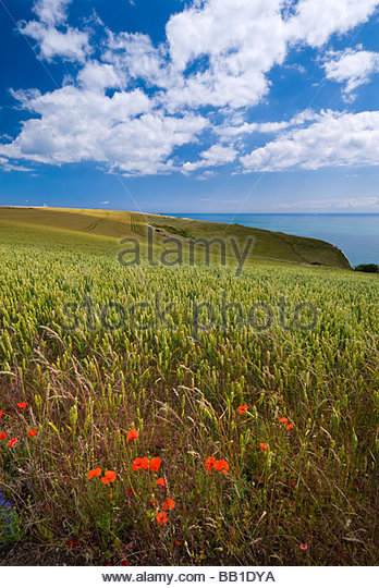 Wheat field and poppies, White Cliffs, Kent, England. - Stock Image