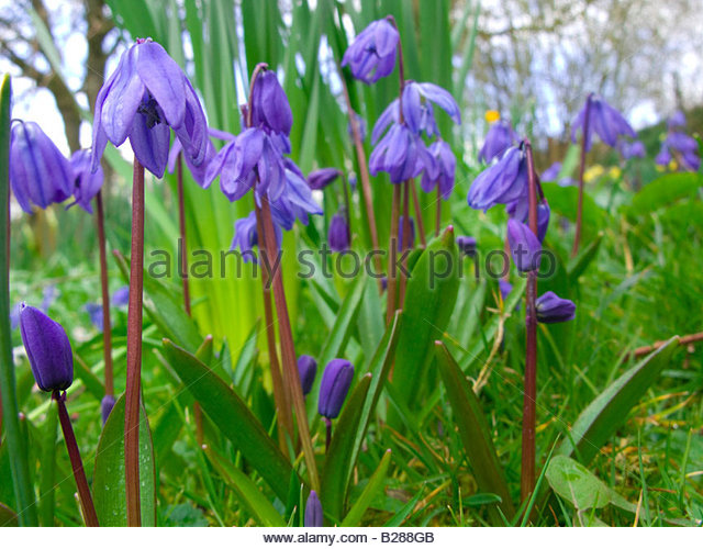 Close up of delicate purple flowers - Stock Image