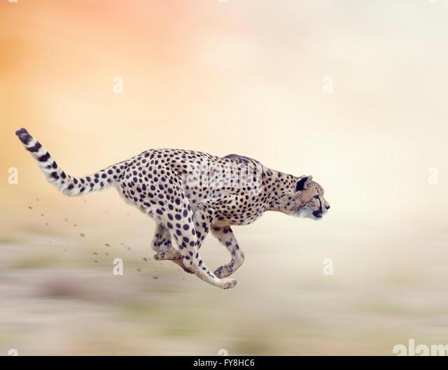 Cheetah  Running on Soft Focus Background - Stock-Bilder