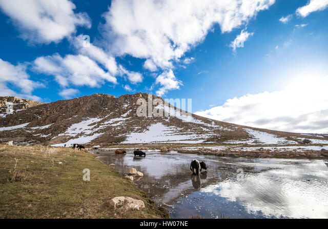 Cows grazing on a green field on the Atlas mountains in Morocco - Stock Image