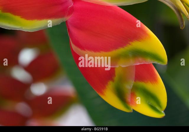 tropical flower pico de loro parrots beak red - Stock Image