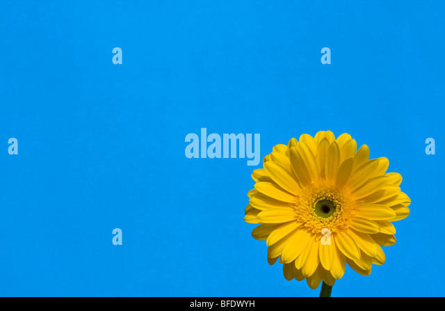 Detail of a yellow Gerber Daisy with blue sky backdrop - Stock Image