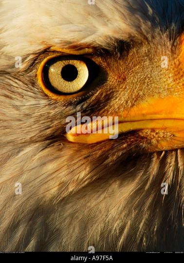 Bald Eagle close up Alaska - Stock-Bilder