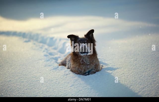 Dog in the snow - Stock Image