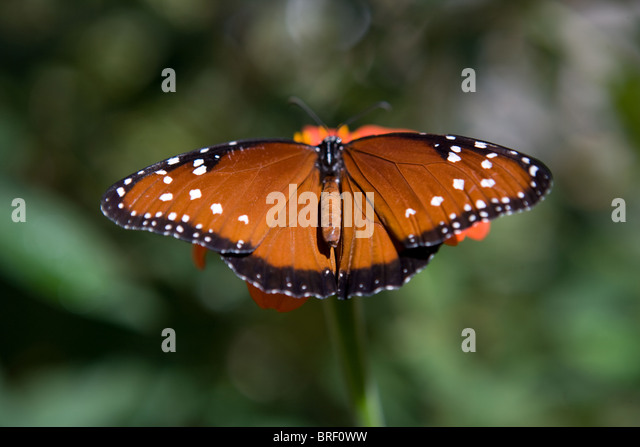 brown and black spotted butterfly landing on a zinnia flower, New Mexico, USA - Stock-Bilder