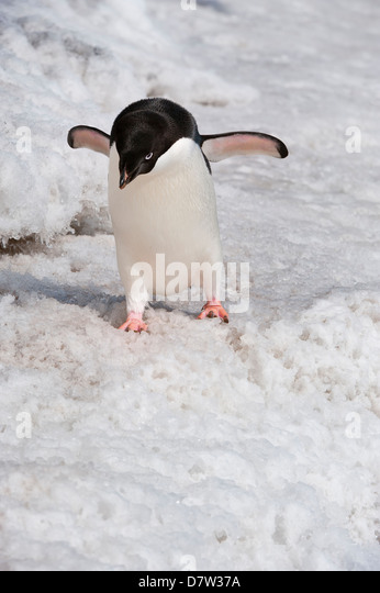 Adelie penguin (Pygoscelis adeliae), Paulet Island, Erebus and Terror Gulf, Antarctic Peninsula, Antarctica - Stock Image