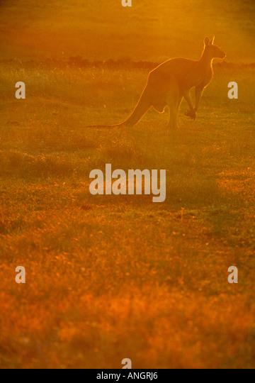 Kangaroo, Western Australia, Australia - Stock Image