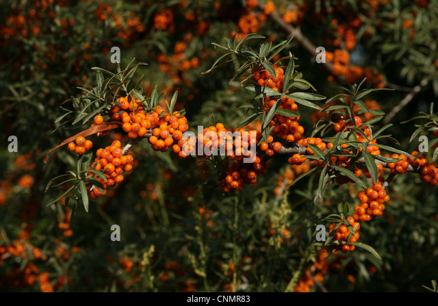 Seaberry stock photos seaberry stock images alamy - Growing sea buckthorn ...