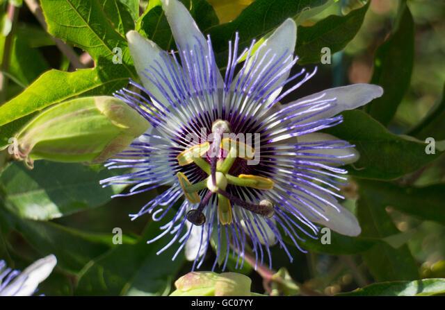 blue passionflower passiflora caerulea stock photos blue. Black Bedroom Furniture Sets. Home Design Ideas